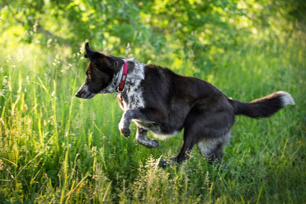 Honey the border collie mix jumping in the tall grass