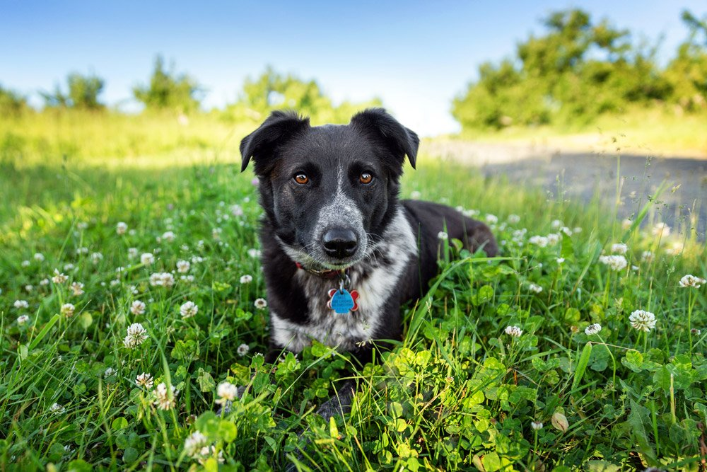 dog lying down in a field of clover