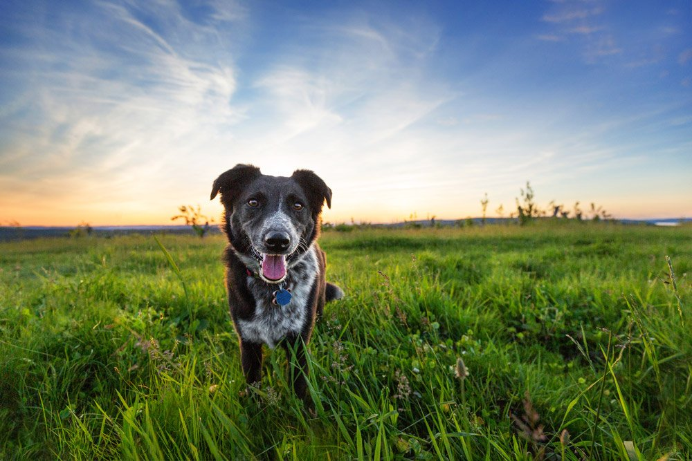 Photo of a dog standing in a field of green grass with the sunset behind her