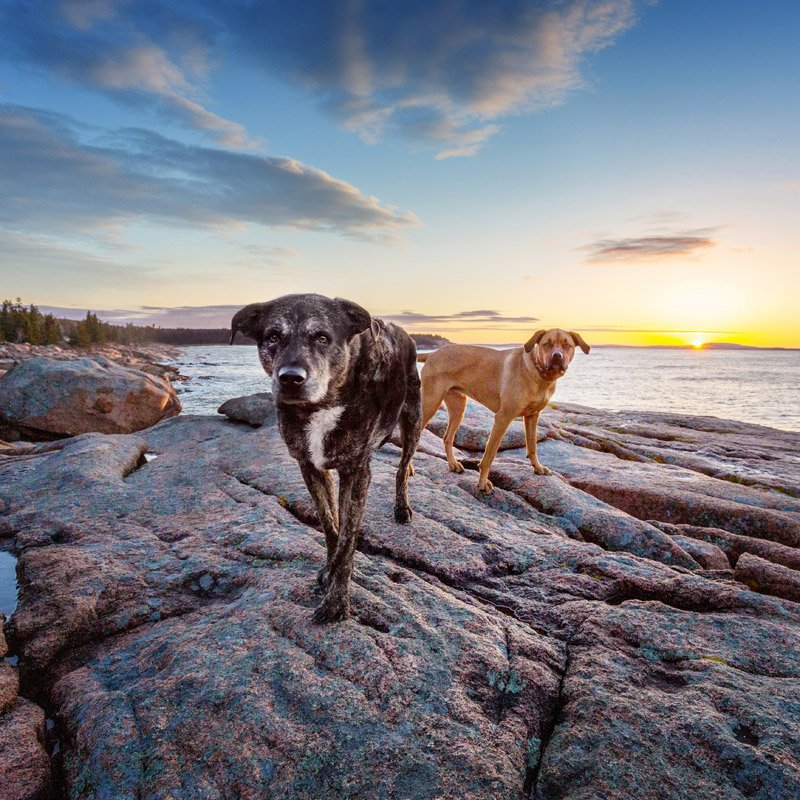 Photograph of two dogs exploring the coast in Maine
