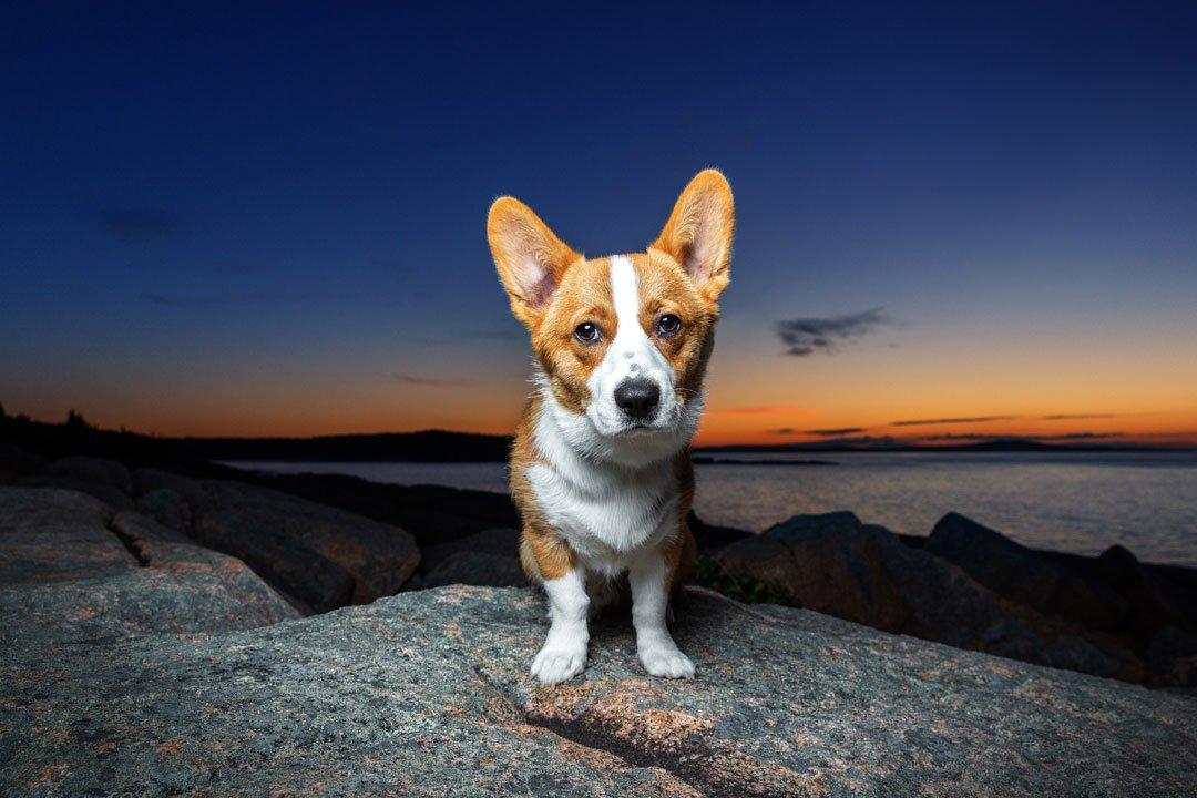 Corgi standing on the rocks right before sunrise