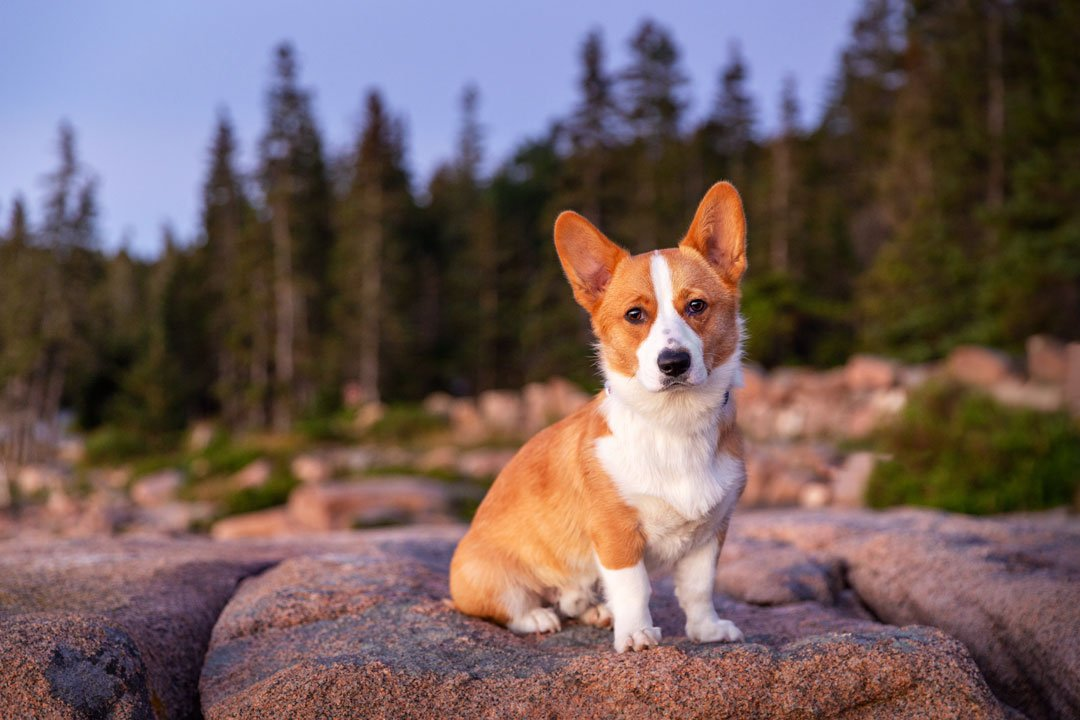 Corgi photographed on a rocky cliff in Maine