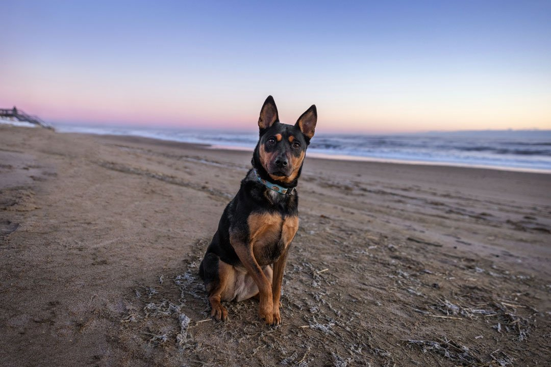 Black and tan dog sitting on the beach at sunrise