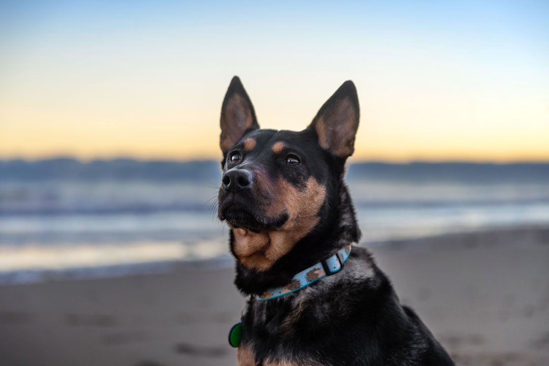 Photograph of a dog looking at sunrise