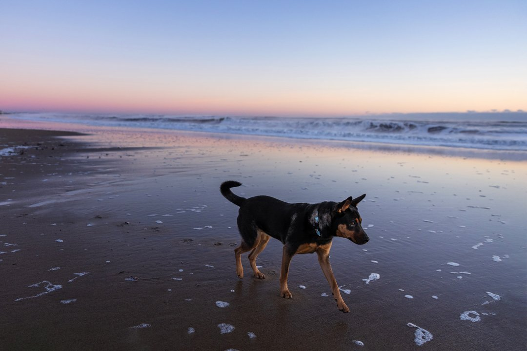 Mixed breed dog walking along the beach in Massachusetts