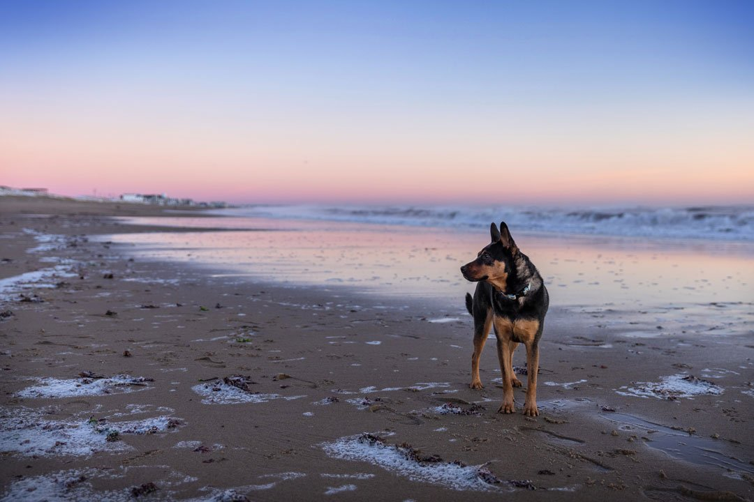 Professional pet photography of a dog standing on the beach