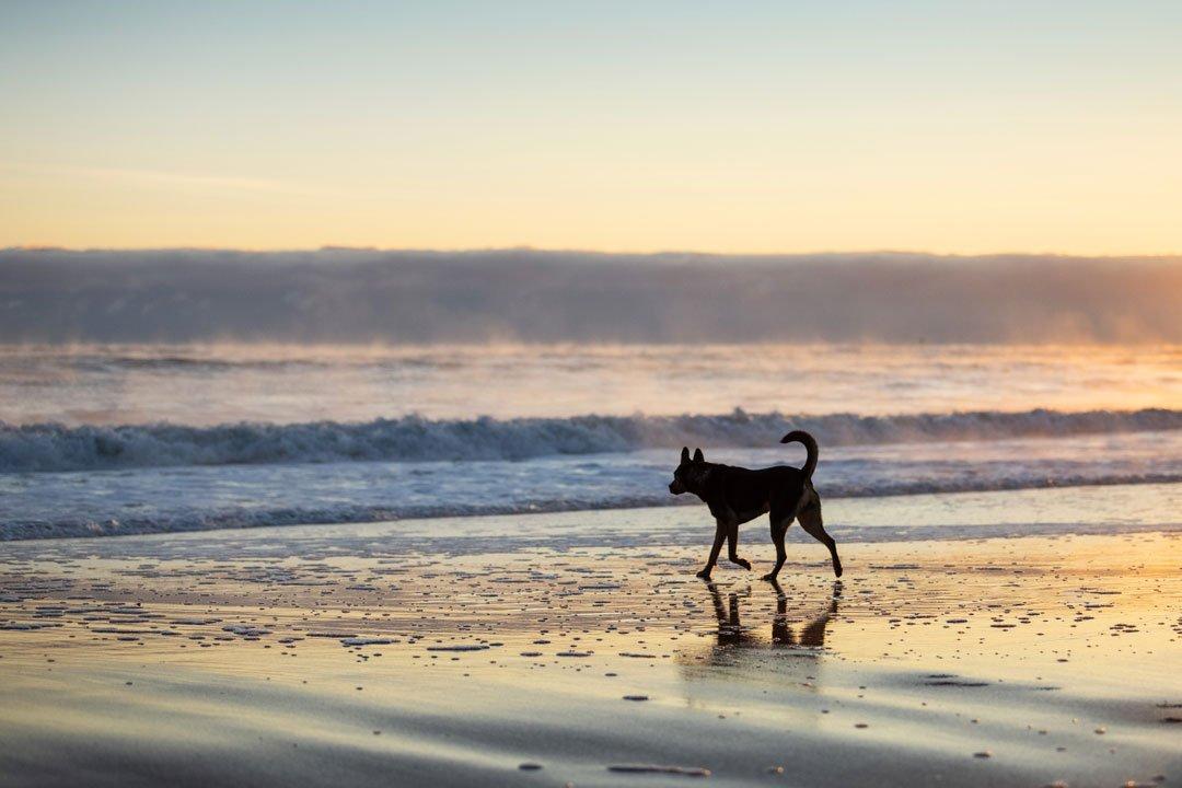 Dog exploring on Massachusetts beach