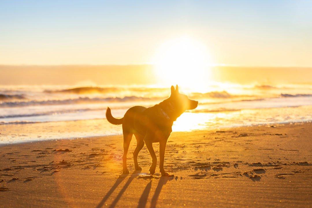 Dog enjoying sunrise on Salisbury beach