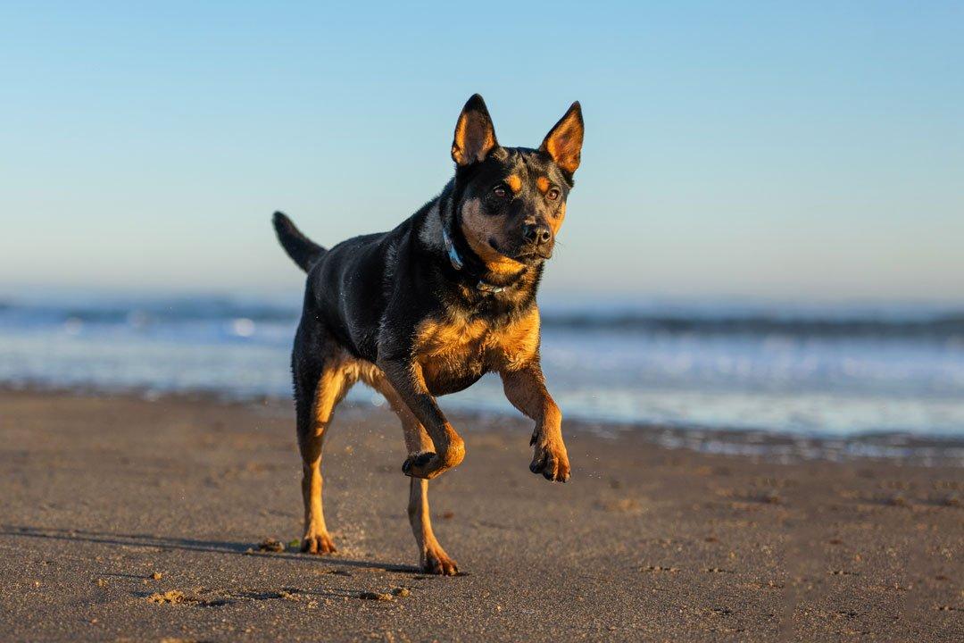 Black and tan dog racing along the beach