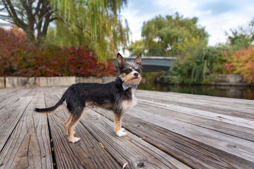 Terrier mix dog standing on a wooden pier