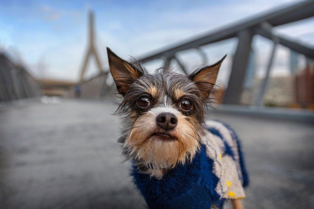 Cute dog standing by the Zakim Bridge in Cambridge