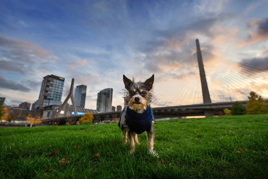 Mixed breed dog standing in front of Boston skyline
