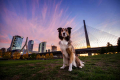 Dog sitting in front of the Boston skyline at sunset