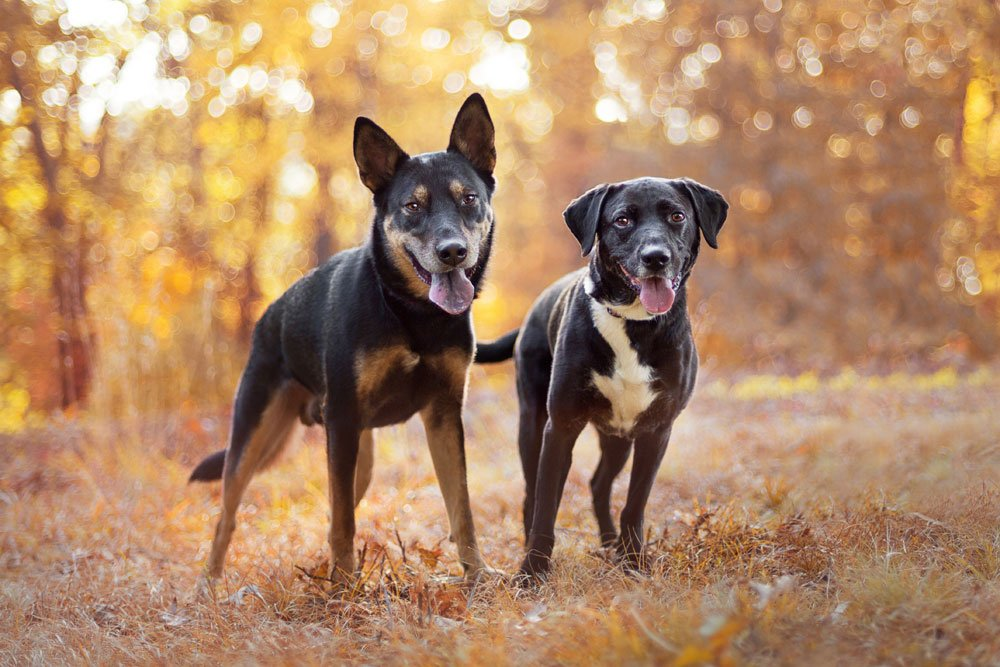 Two black dogs standing in the woods