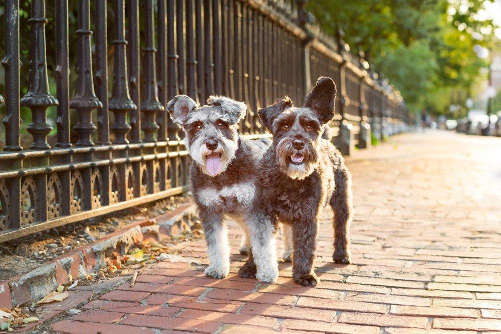 two dogs walking in Boston Public Garden