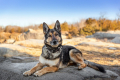 German Shepherd Dog photographed in Rockport, MA