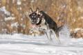German Shepherd bounding through the snow