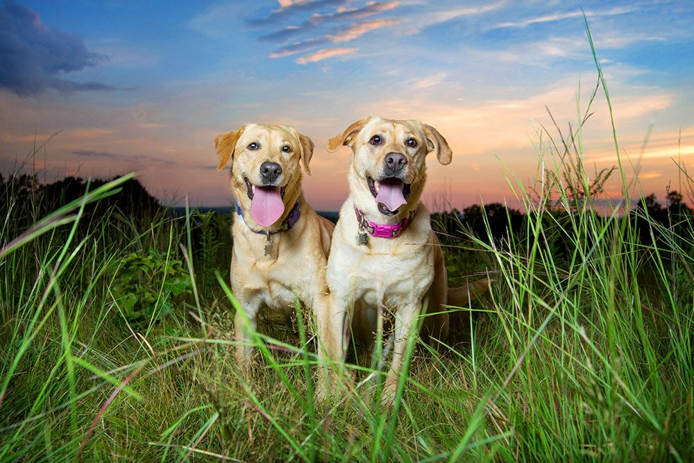 Two yellow labs in a field with a sunset