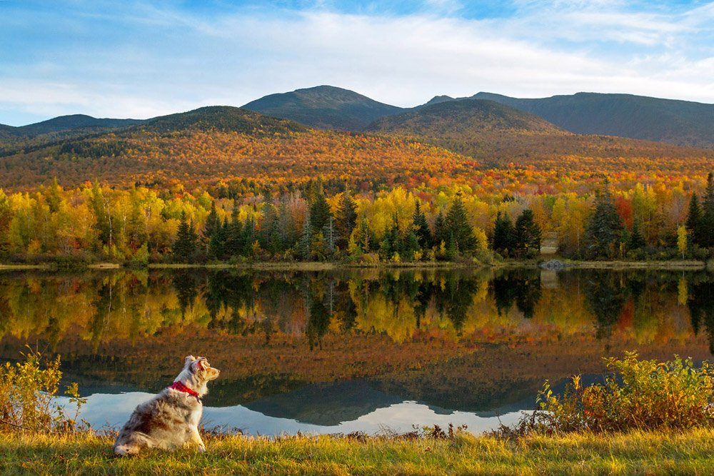 dog looking out at mountains and fall foliage in New Hampshire