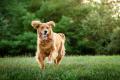 Golden Retriever running in field