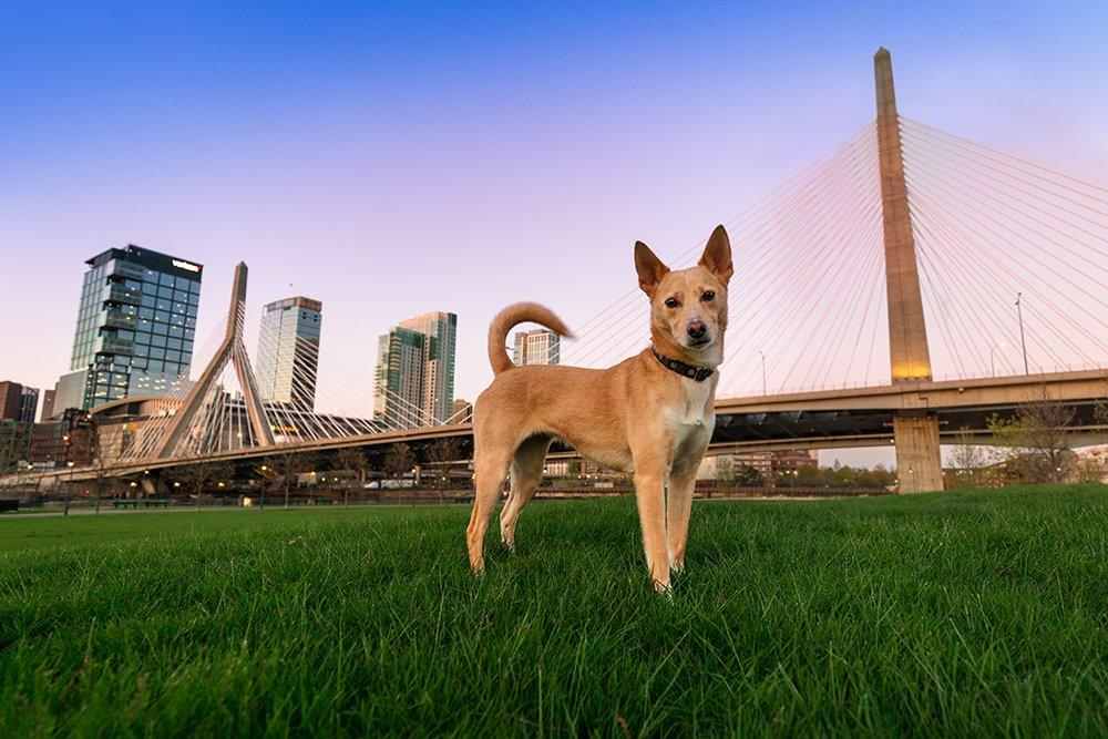 dog standing in front of a Zakim Bridge in Boston