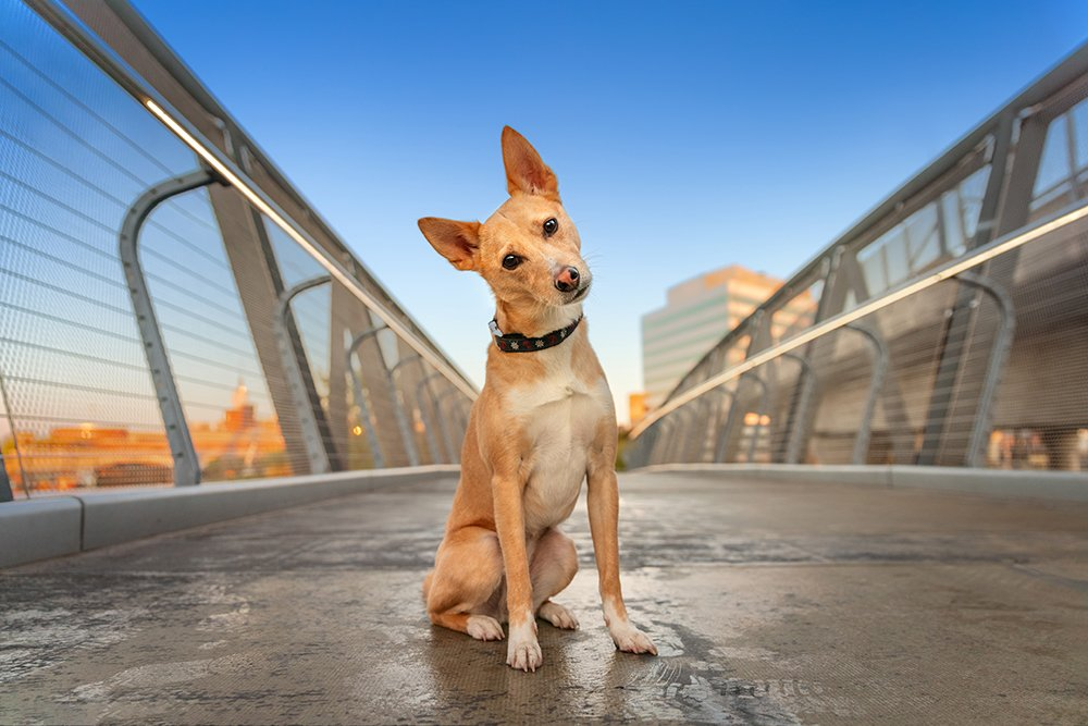 mixed breed dog photographed on a bridge in Cambridge, MA