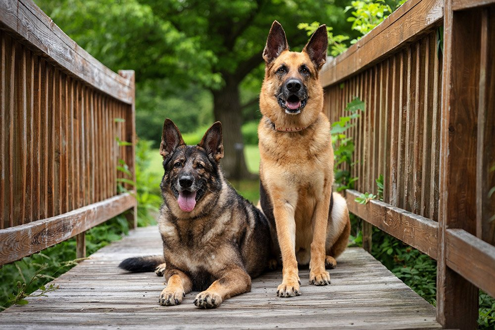 two dogs sitting together on a wooden bridge
