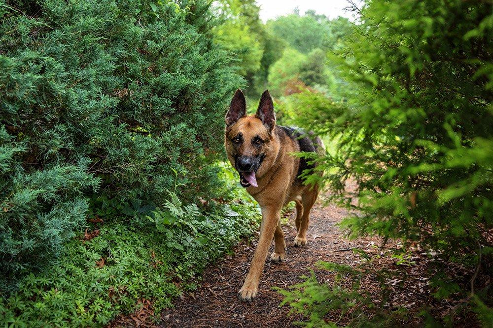 dog walking between pine trees