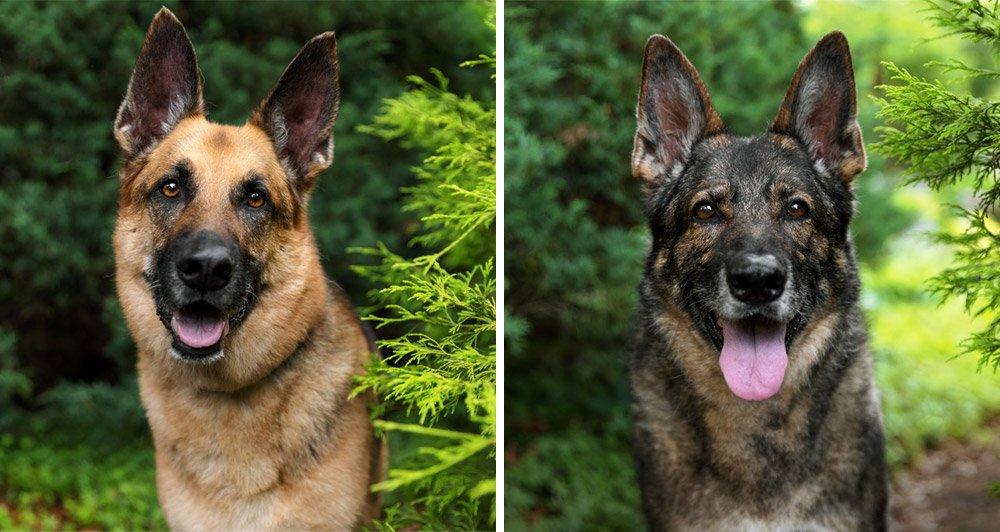portrait photographs of German Shepherd Dogs