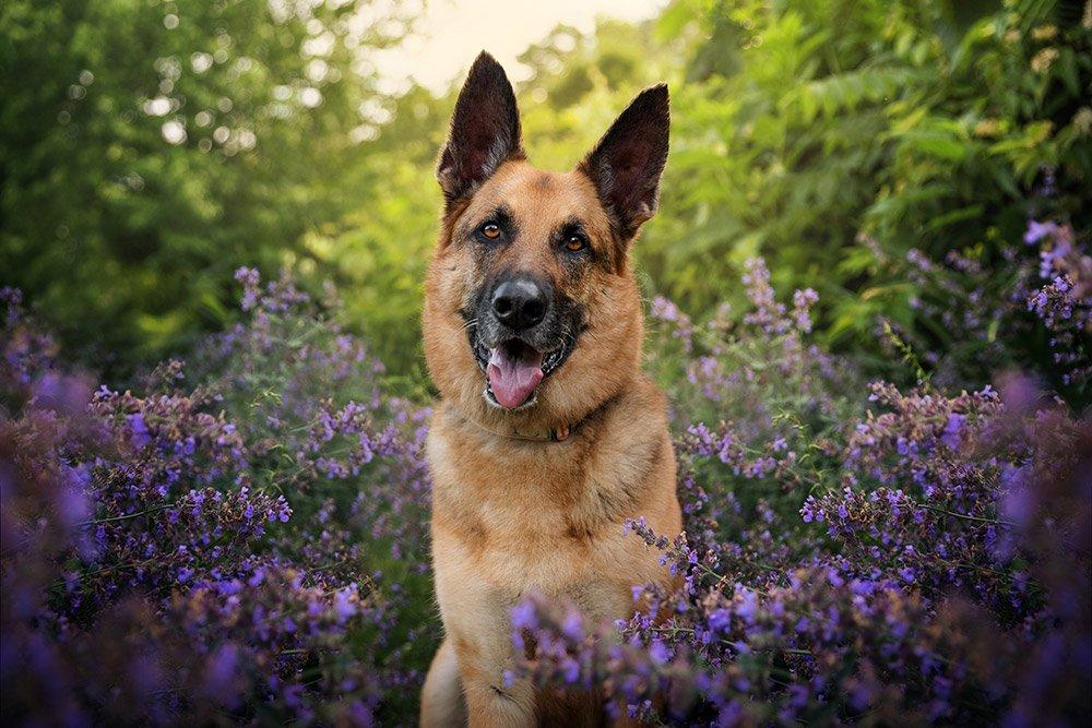 handsome dog in a garden of purple flowers