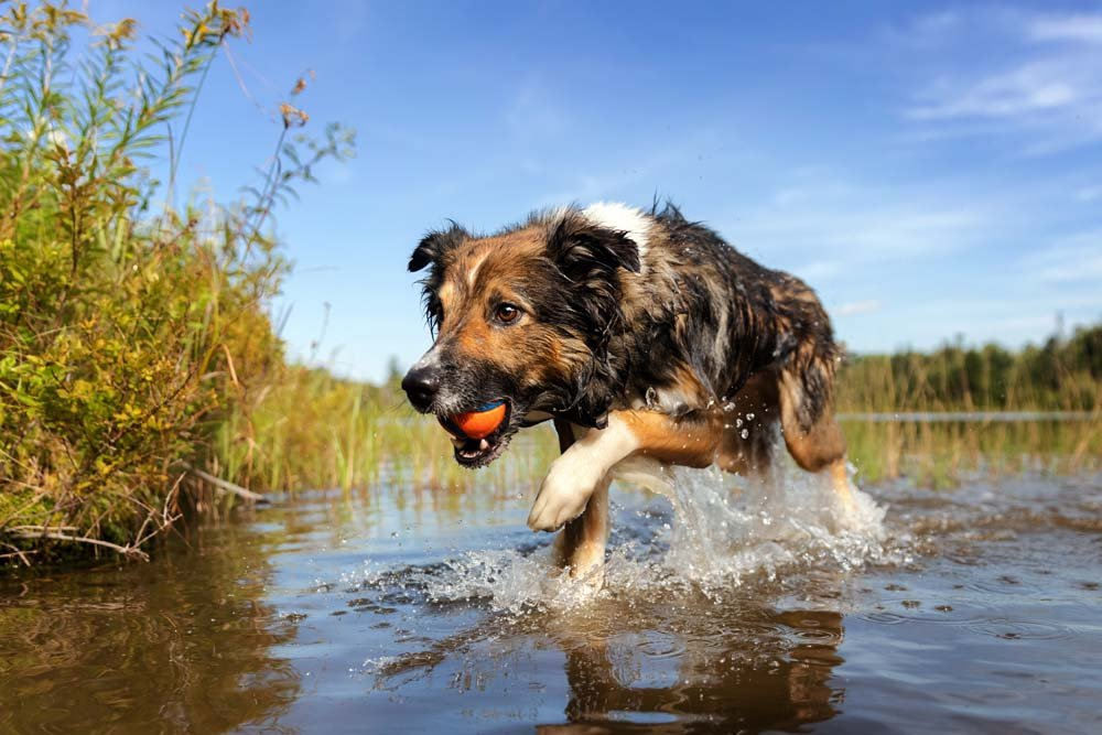 Flint, the English Shepherd, jumping through the water with a ball