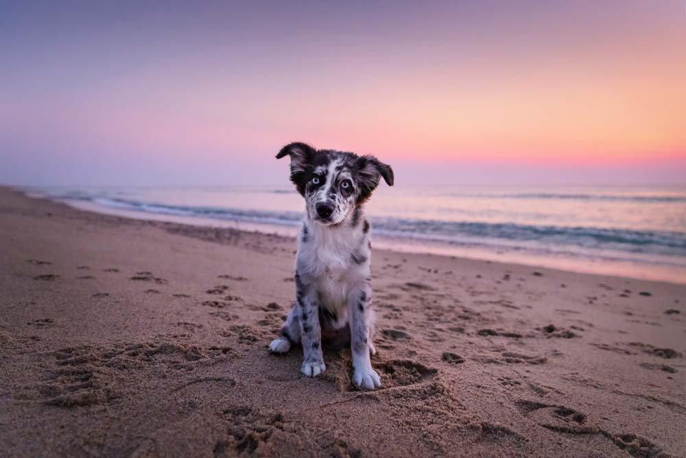 Australian Shepherd puppy sitting on the beach at sunrise