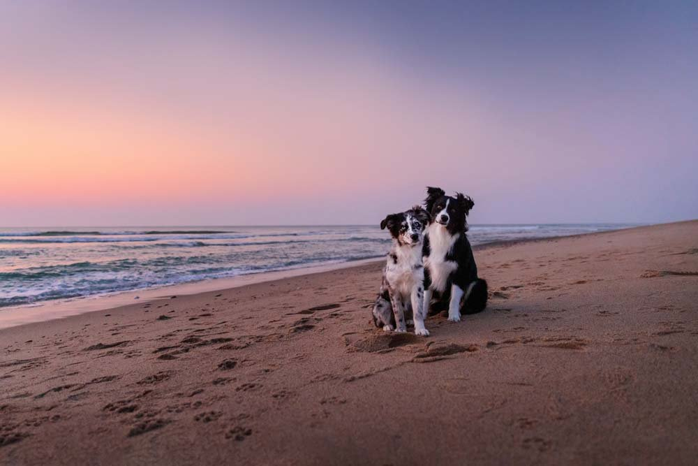 Two Australian Shepherd Dogs sitting on the beach at Cape Cod