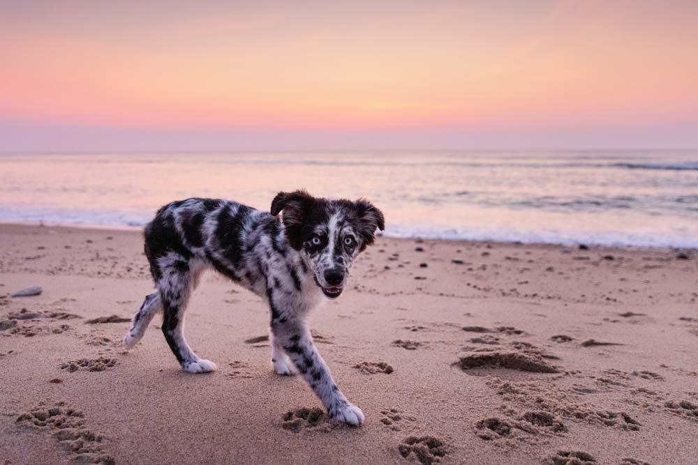 cute blue merle puppy walking along the sand