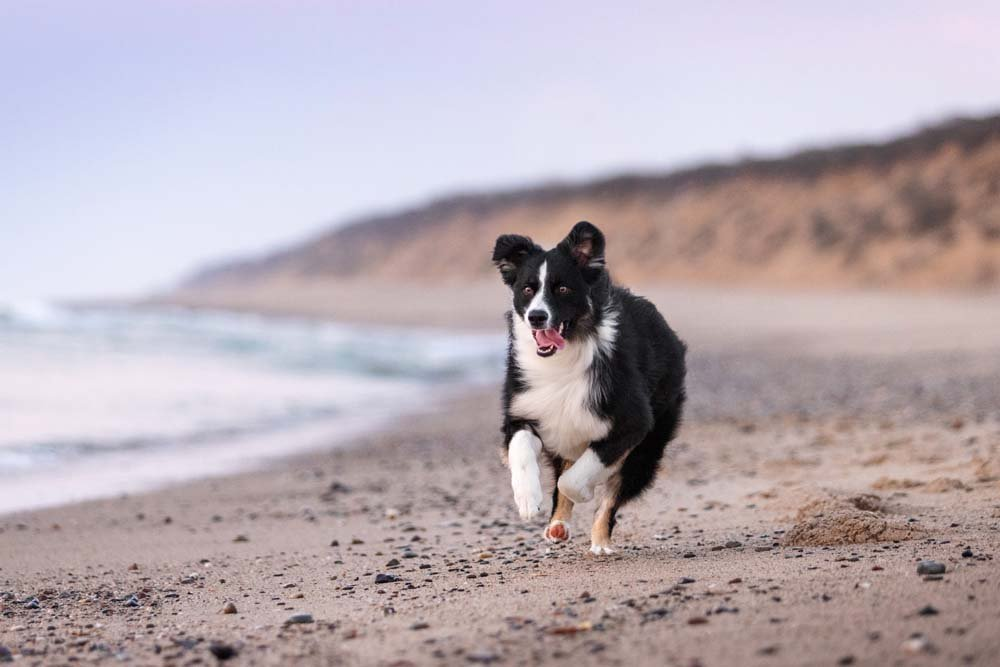Dog running on the Cape Cod National Seashore beach