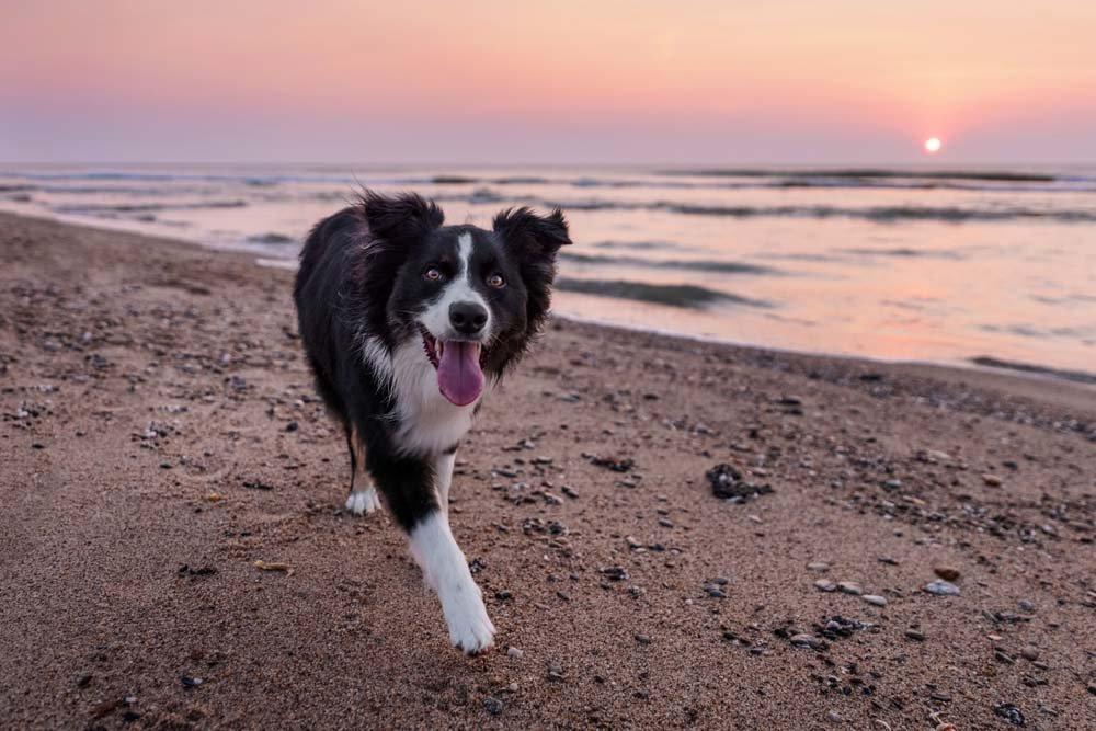 Happy dog walking along the beach at sunrise