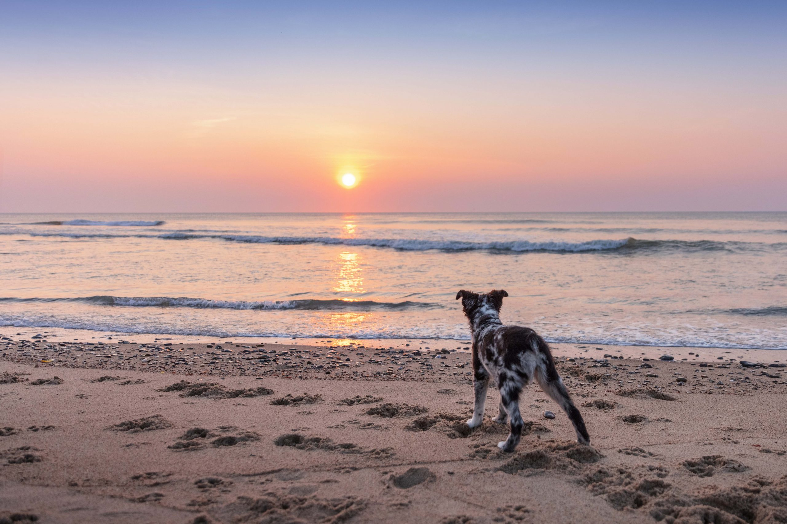 Aussie puppy looking at the ocean